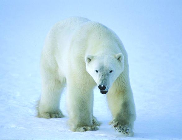 Polar Bear Nwt Species At Risk
