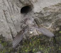 Bank Swallow, credit: Kevin Kardynal
