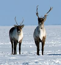 Barren-ground Caribou (credit: GNWT)