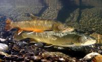 Bull trout - credit: DFO / Jeremy Stewart