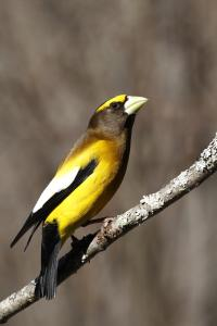 Evening Grosbeak male (credit: Jim Richards)