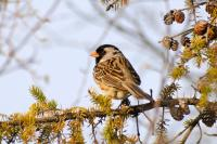 Harris's Sparrow (credit: GNWT/J. McKay, ENR)