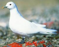 Ivory Gull. Credit: Grant Gilchrist
