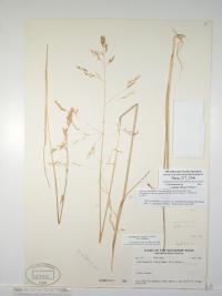 Mackenzie Hairgrass credit: Canadian Museum of Nature