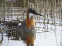 Red-necked Phalarope credit: Alvan Buckley