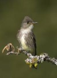 Olive-sided Flycatcher credit: Tim Zurowski