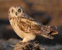 Short-eared owl, credit Doug Dance