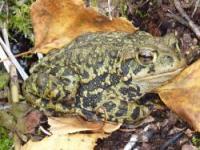 Western Toad - credit: Floyd Bertand