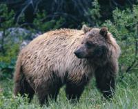 Grizzly Bear photo by Gordon Court