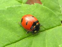 Transverse Lady Beetle (credit: Henri Goulet)