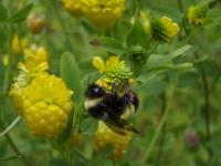 Yellow-banded bumble bee (credit: Leif Richardson)