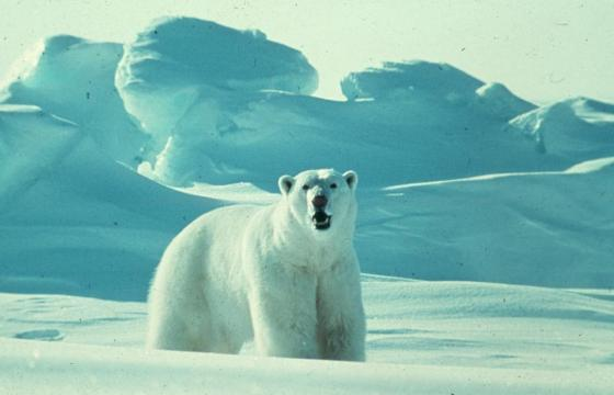 Consensus Agreement Reached On Management Plan For Polar Bears In