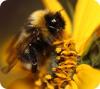 Gypsy Cuckoo Bumble Bee, Photo by Sheila Colla